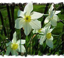 Transparent Daffodils by teresa731