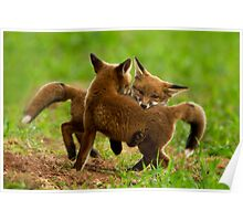 Red Fox Cubs Playing Poster