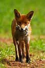 Red Fox With Prey by Neil Bygrave (NATURELENS)