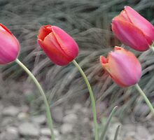 Tulips by PhOtOgaljan