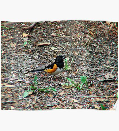 Eastern Towhee - Male Poster