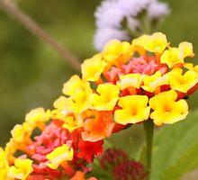 Swazi flowers by habraham