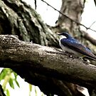 Tree Swallow by Dave & Trena Puckett