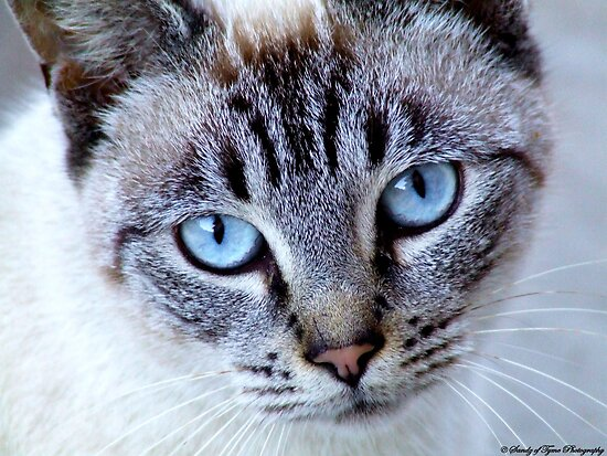 Blue Eyed Belle by Sandie Holland