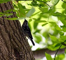 Black and White Warbler by Dave & Trena Puckett