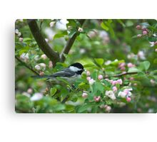 Black-capped Chickadee in Apple Blossoms Canvas Print