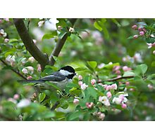 Black-capped Chickadee in Apple Blossoms Photographic Print