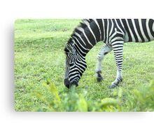 South Africa zebra Metal Print