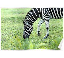 South Africa zebra Poster