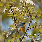 Northern Parula in Wild Cherry by Steve Borichevsky