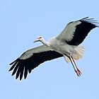 Stork (Ooievaar) by Lifeware