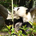Panda contemplating lunch by tirrera