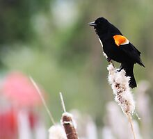 Red Winged Blackbird by Alyce Taylor