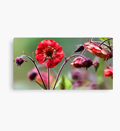 Geum Blossoms - Flame of Passion Canvas Print