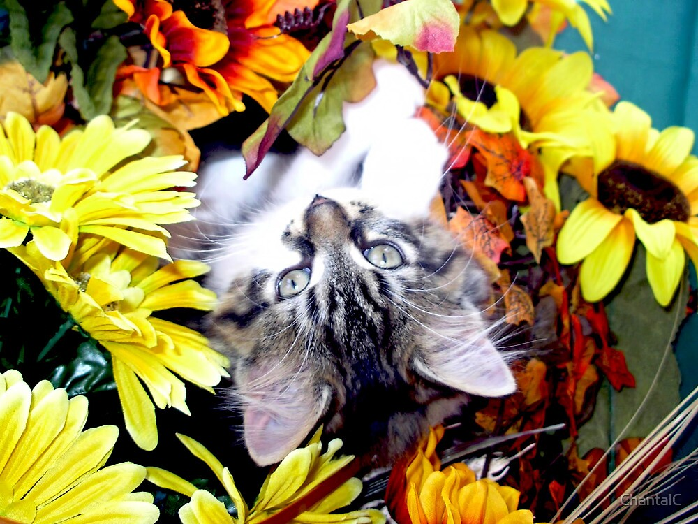 Venus ~ My World has turned Upside Down ~ Fall Kitten by Chantal PhotoPix