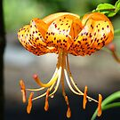 Floral art Orange Tiger Lily Flowers Lilies by BasleeArtPrints