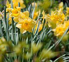 Daffodils by vadim19