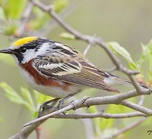 The Chestnut-sided Warbler by DigitallyStill