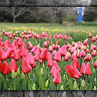 Tulips in Frame 2 by kchased