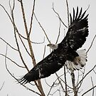 Juvenile Bald Eagle in Flight by Ron Kube