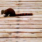 Stripes: Red-tailed mongoose by Joumana Medlej