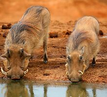Warthogs At Waterhole by naturalnomad