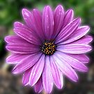 A Flower Called 'Elizabeth' - Pretty-in-Pink Cape Daisy by BlueMoonRose