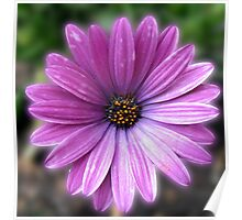A Flower Called 'Elizabeth' - Pretty-in-Pink Cape Daisy Poster