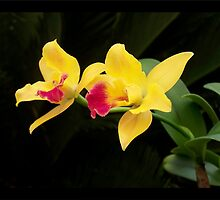 Burana Beauty Orchid - Symbol of Perfection by jono johnson
