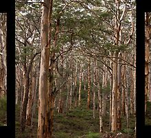 Tryptic of Karri Forrest in Margaret River, WA by Dominic Wilson-Ing