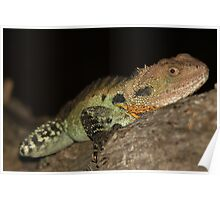 Gippsland Water Dragon Poster