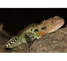 Gippsland Water Dragon Photographic Print