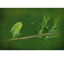 willows of may Photographic Print