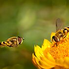 Hover fly landing by KWTImages