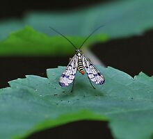 Pretty Bug.  [  Scorpion Fly , Panorpa Communis. ] by relayer51
