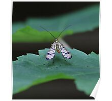Pretty Bug.  [  Scorpion Fly , Panorpa Communis. ] Poster