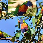rainbow lorikeet collage by ralphyboy