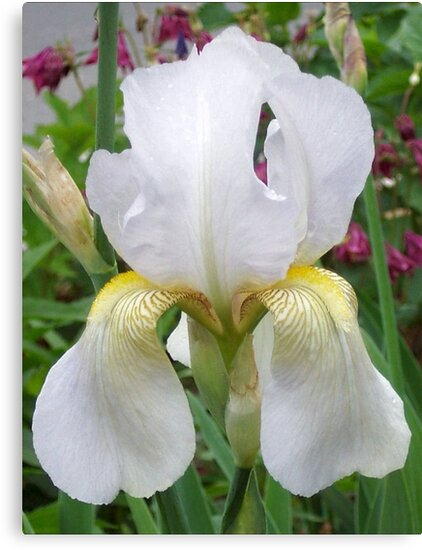 White Iris by Ginny York