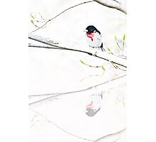 Rose-Breasted Gros Beak Photographic Print