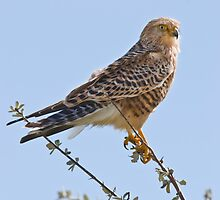 Greater Kestrel by KAREN SCHMIDT
