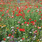 A field of poppies in the summer sun by DJ-Stotty
