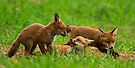 Playing Red Fox Cubs by Neil Bygrave (NATURELENS)