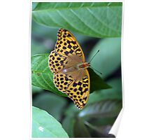 Female Silver Washed Fritillary Poster