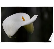 calla lily in the garden Poster