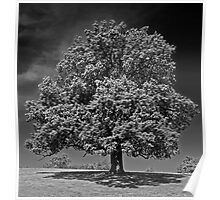 Tree on Woburn Abbey Estate Poster