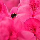 Pink Rhododendron Flowers with Bee by Stephen Frost