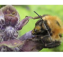 bumbley bumble bee Photographic Print