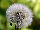 Dandelion Clock by abinning