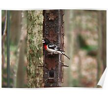 Red Breasted Grossbeak Poster