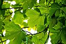Green Leaves Backlit by abinning